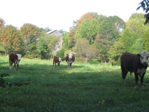 Bovines at Rest: The Original Slow Chewers
