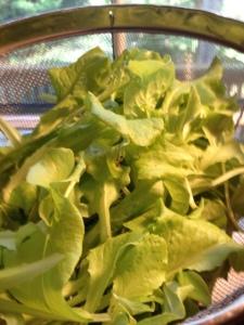 The Lettuce Harvest!